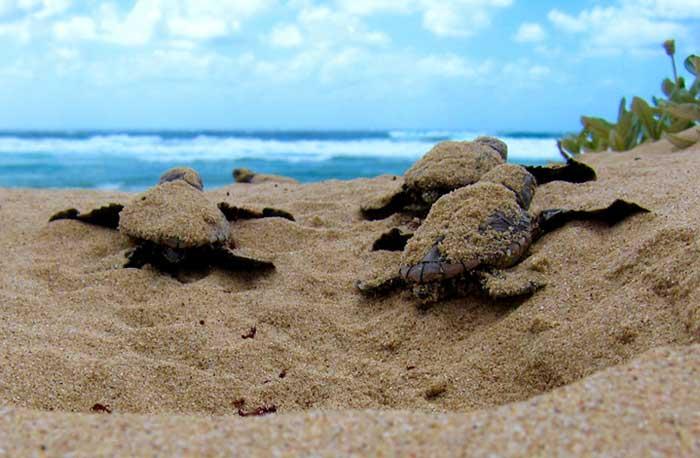 tartarugas recem nascidas ovos