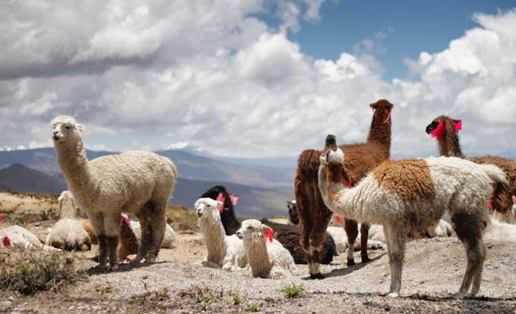 altitude peru llama alpaca