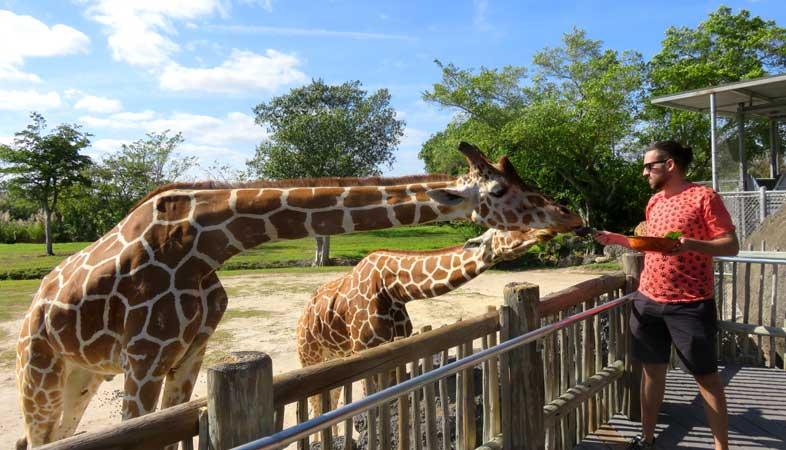 miami zoologico alimentar girafas